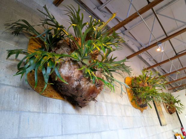 Fall Brewing Company Staghorn Plants