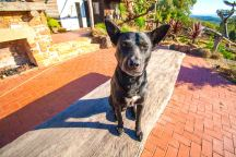 Black Dog Brewery Macca The Dog